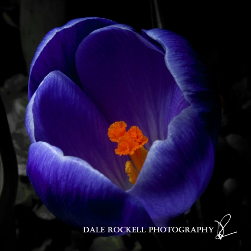 Crocus_07-04-13_IMG_0620_square