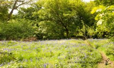 Bluebell Wood Panoramic3_190513