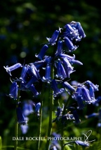 Bluebell Wood_19-05-13_IMG_1246