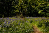 Bluebell Wood_19-05-13_IMG_1249