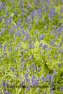 Bluebell Wood_19-05-13_IMG_1281