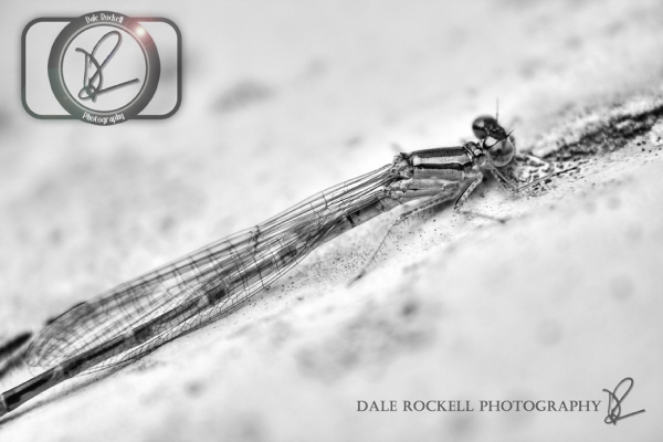 Dragonfly_28-07-14_IMG_7964_HDR_mono