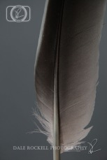 Grey Feather in Portrait with Grey Background