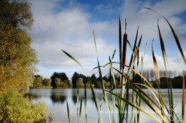 Sunlit bulrushes and lake