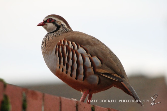Red Footed Partridge_30-10-14_IMG_0531