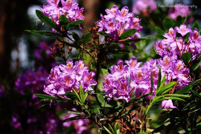 Rhododendron_IMG_0830_29-05-16