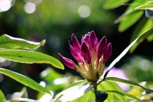 Rhododendron_IMG_0844_29-05-16