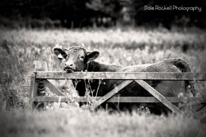 cow-and-gate_img_3249_28-10-16