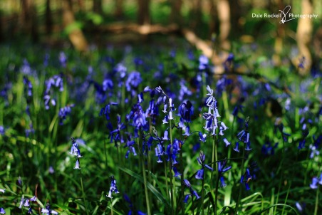 Bluebell Woods_IMG_1320_22-04-18