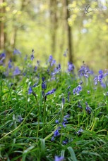 Bluebell Woods_IMG_1323_22-04-18
