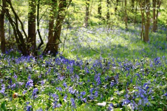 Bluebell Woods_IMG_1324_22-04-18