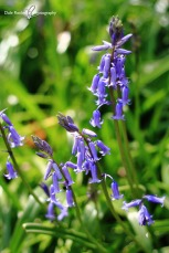 Bluebell Woods_IMG_1325_22-04-18
