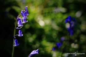 Bluebell Woods_IMG_1335_22-04-18