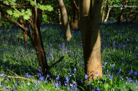 Bluebell Woods_IMG_1337_22-04-18