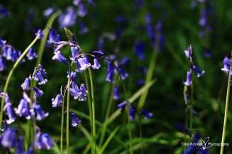 Bluebell Woods_IMG_1343_22-04-18